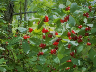 Berry bush enhanced