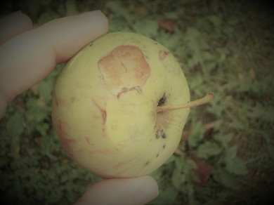 OT - Eaten Crabapple
